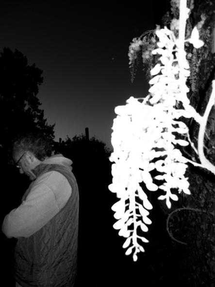 Sin Título (Wisteria sinensis), 2012 - Plata en gelatina - Medidas variables -